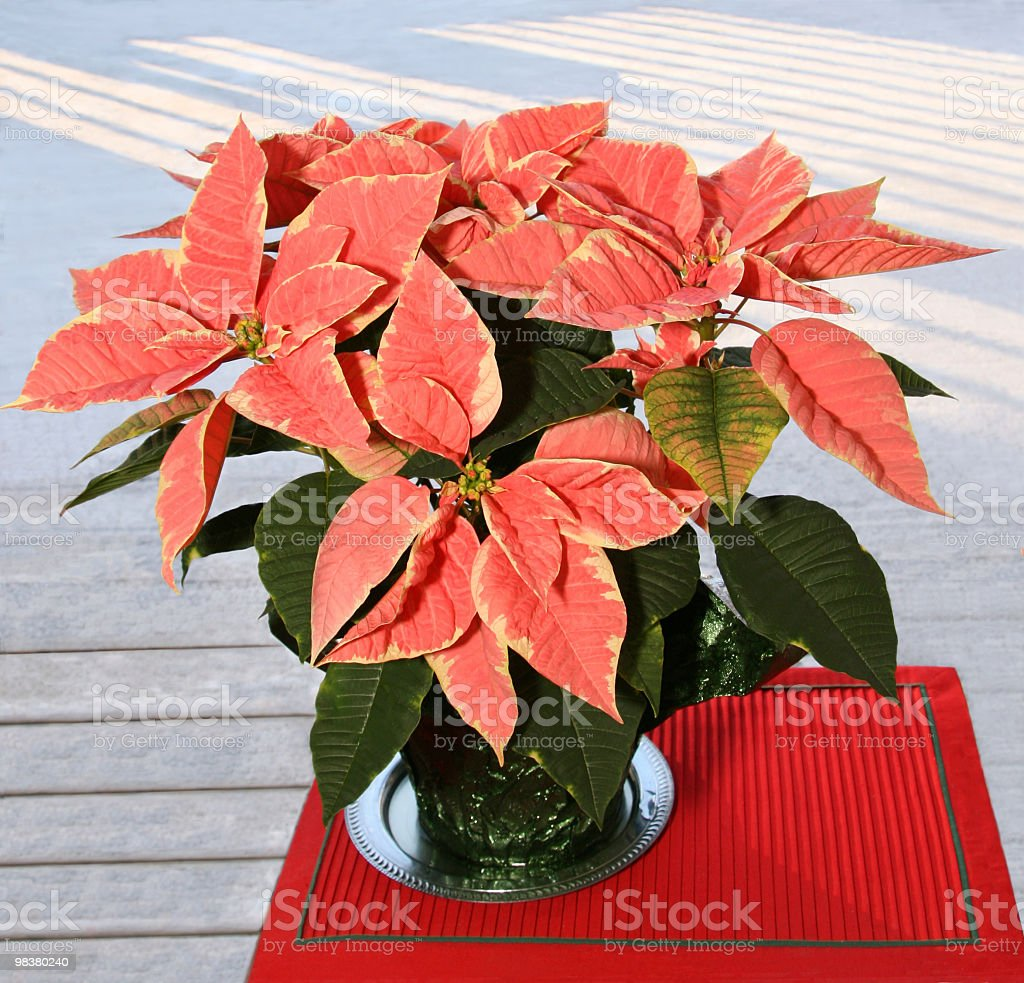 Poinsettia multi-color royalty-free stock photo