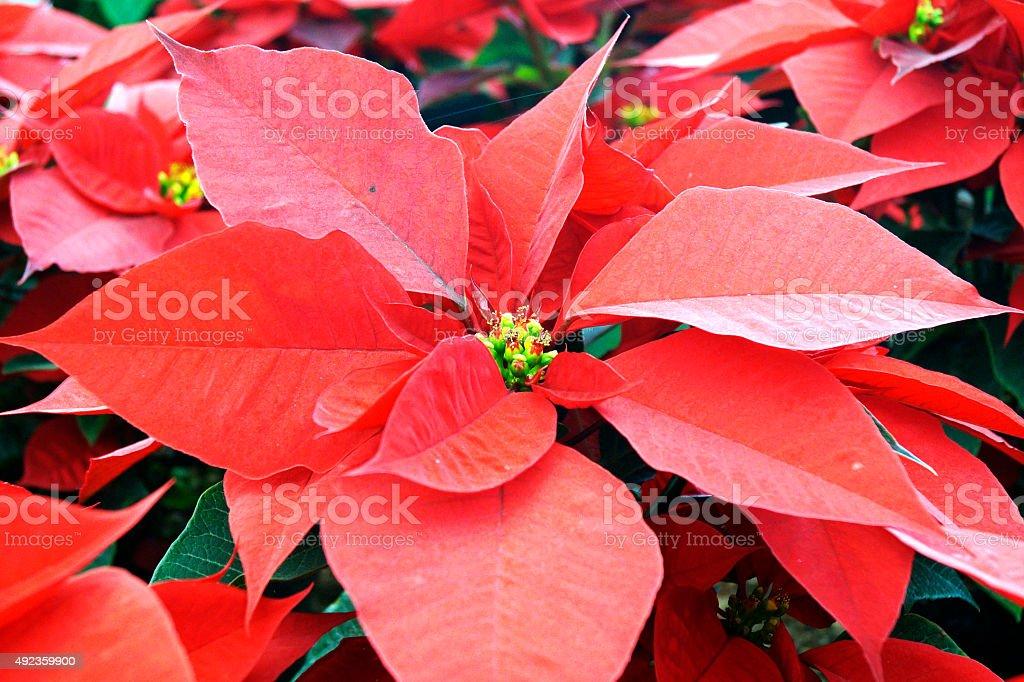 Flor de Nochebuena Nochebuena Pascua-Flores decorativas - foto de stock