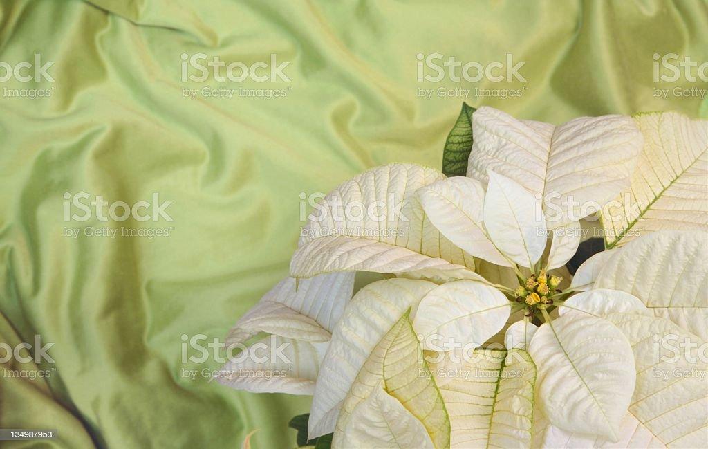 Poinsettia on Green Background royalty-free stock photo