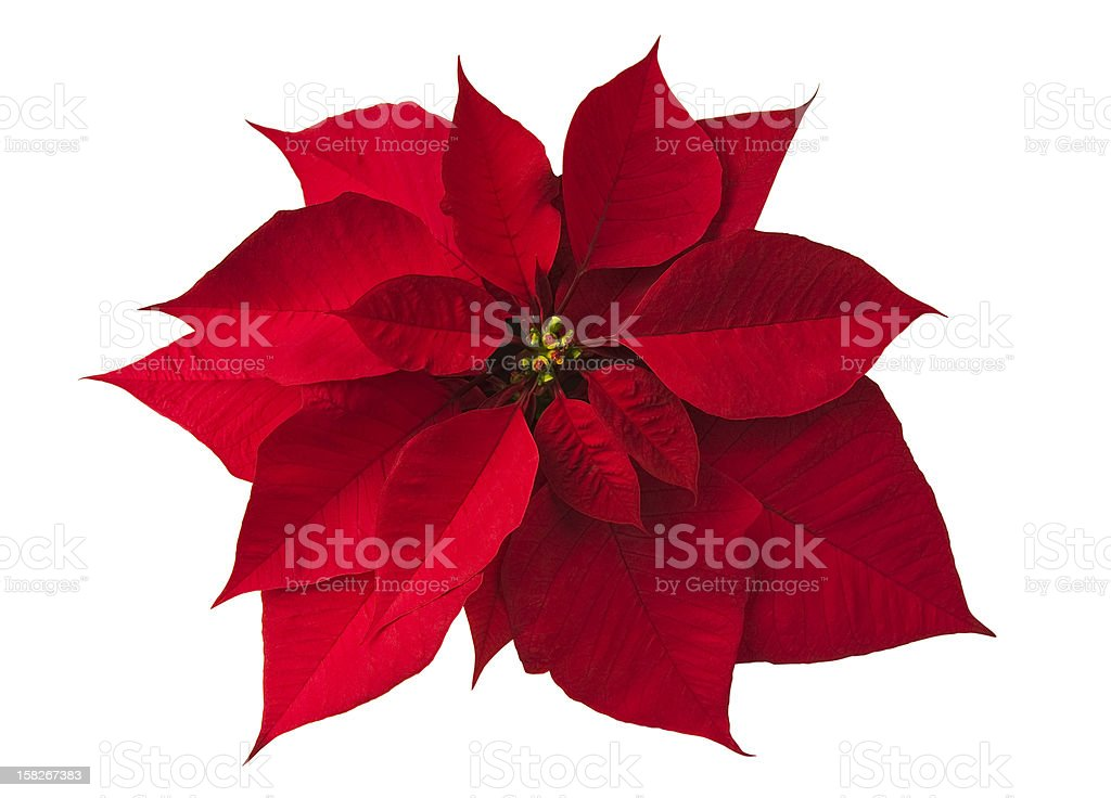Poinsettia on white stock photo