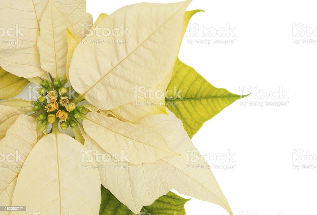 Poinsettia on White royalty-free stock photo