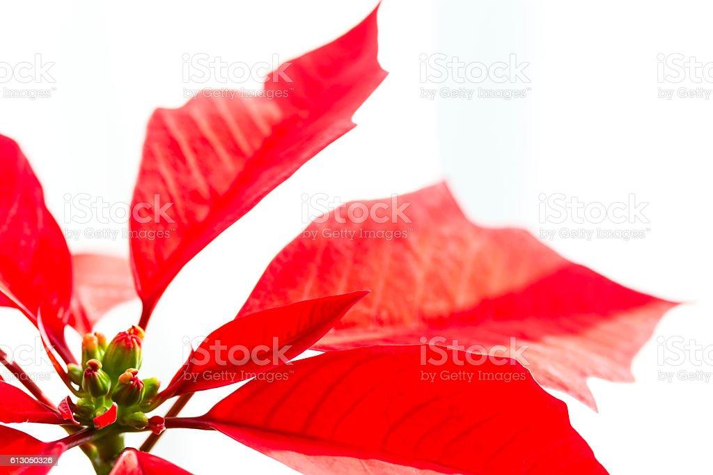 Poinsettia on White stock photo