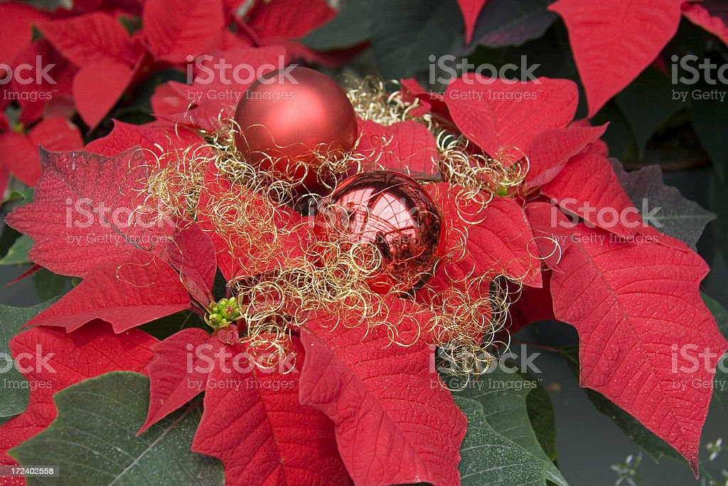 Weihnachtsstern royalty-free stock photo