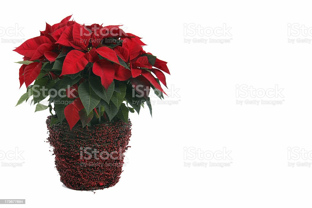 Poinsettia. royalty-free stock photo