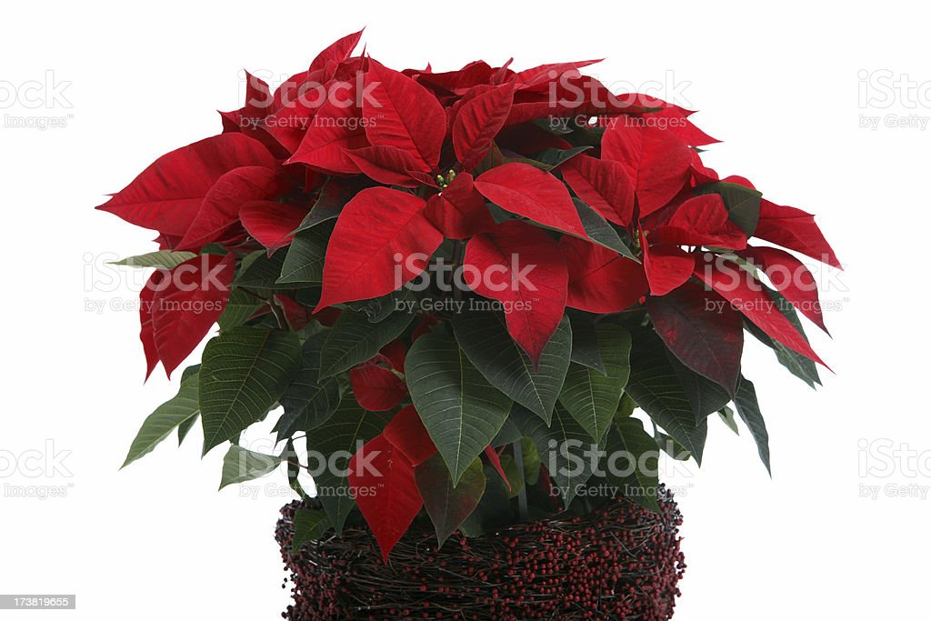 Poinsettia. royalty-free stock photo