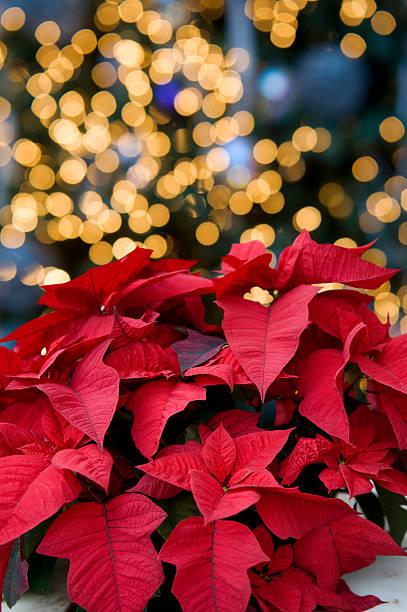 Weihnachtsstern – Foto