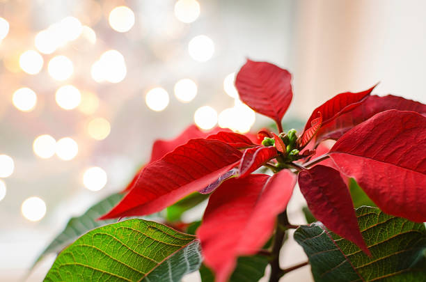 poinsettia - kerstster stockfoto's en -beelden