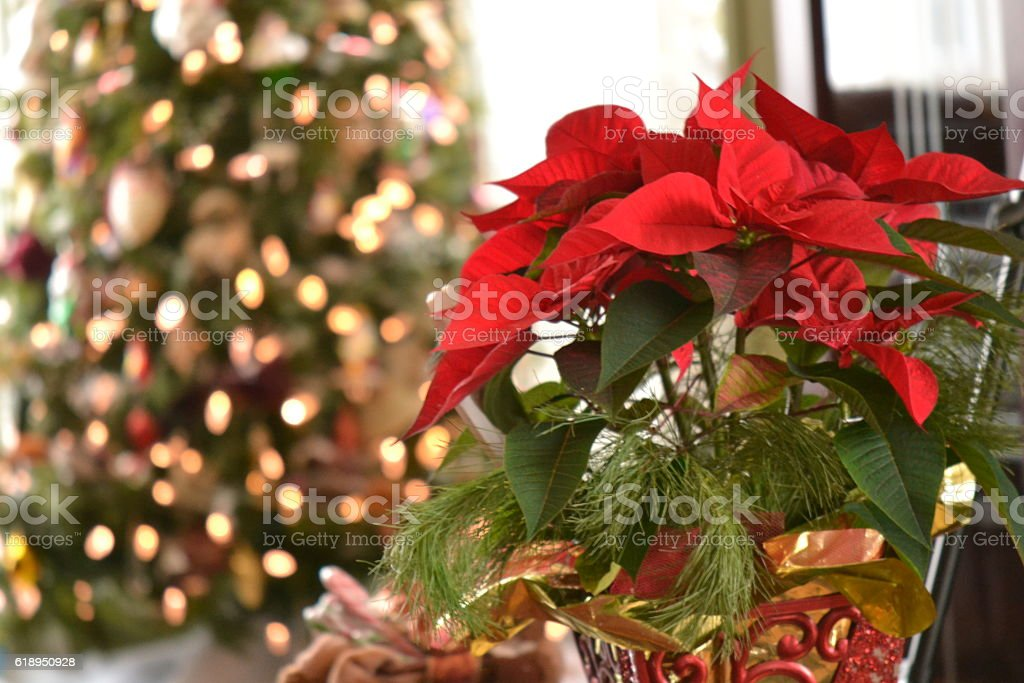 poinsettia stock photo
