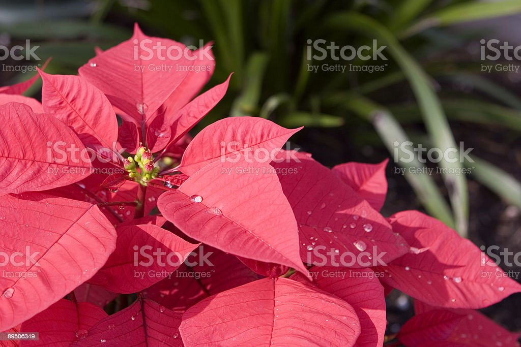 Poinsettia (Closeup) royalty-free stock photo