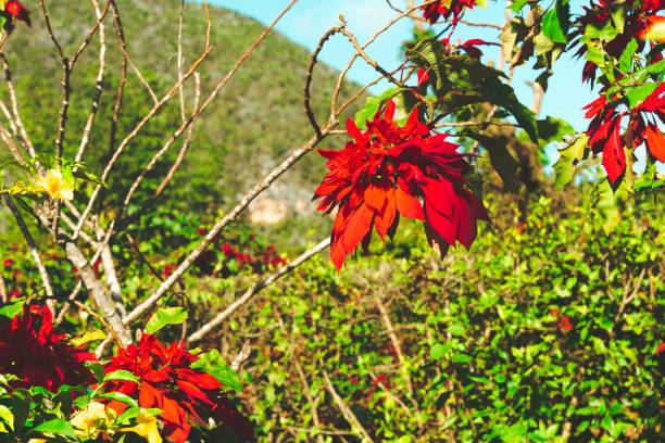 poinsettia plant growing in tropical location - katiedobies stock pictures, royalty-free photos & images