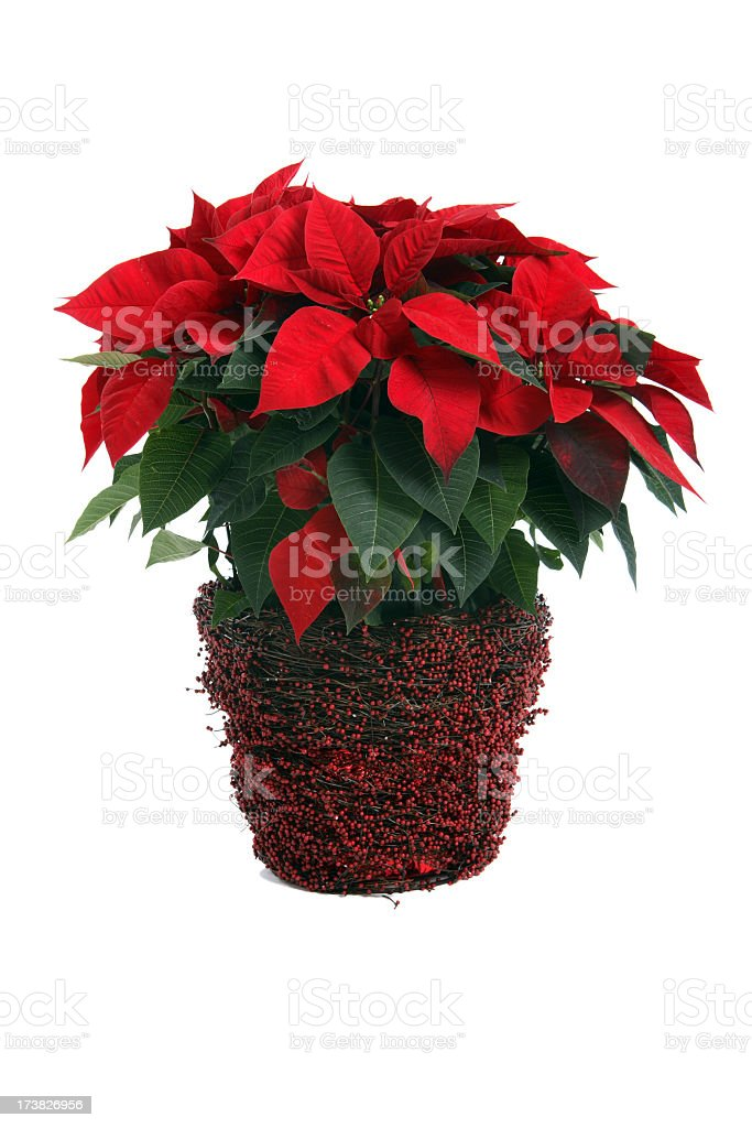 A poinsettia plant on a white background stock photo