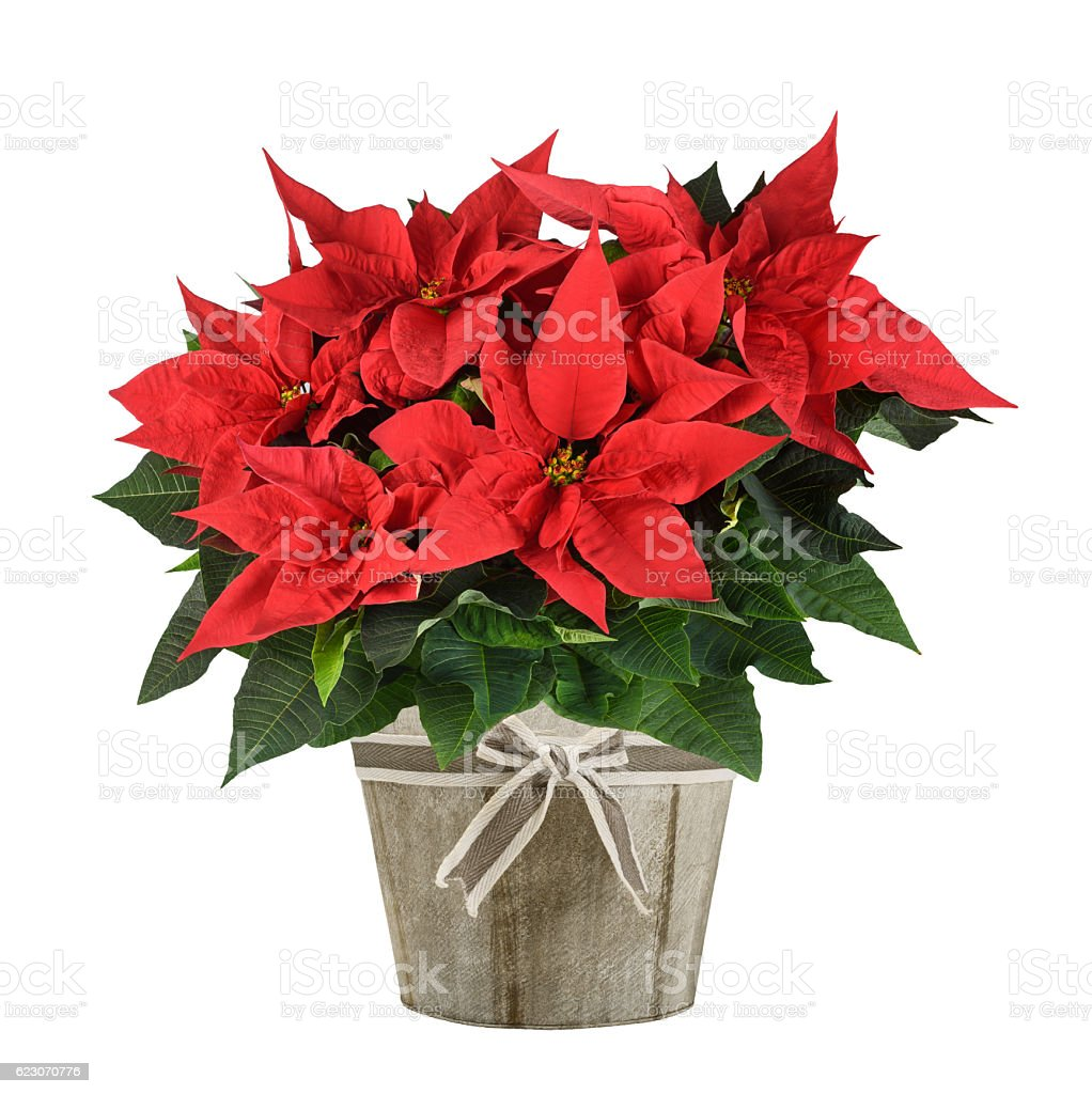 poinsettia plant stock photo
