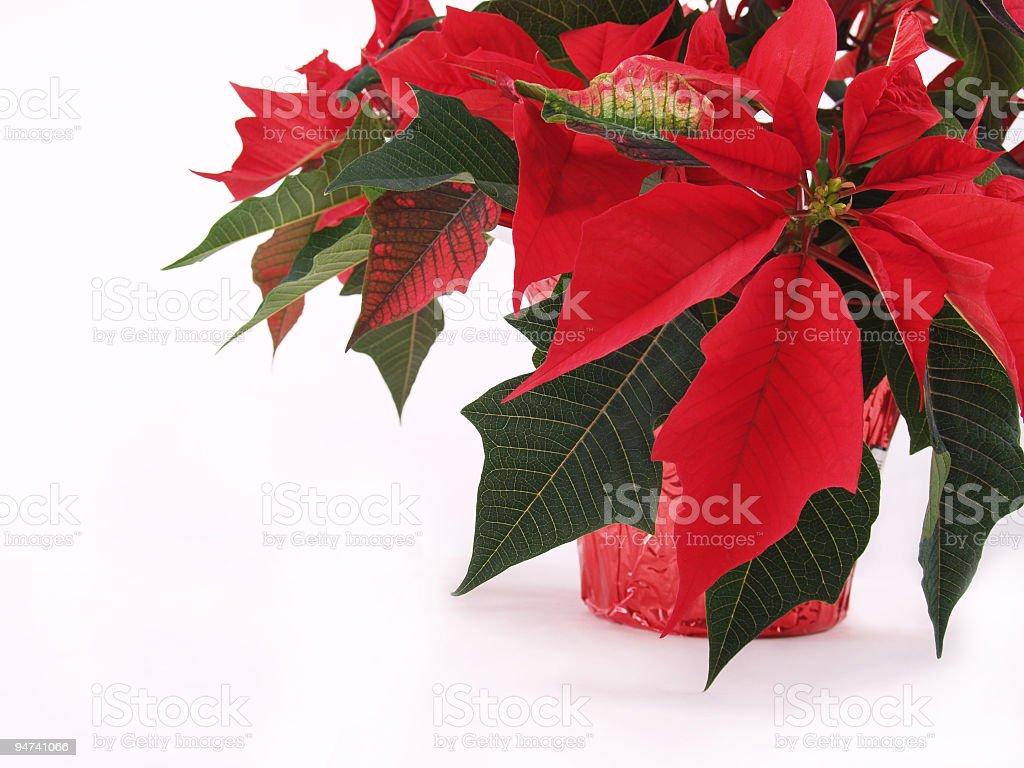 Poinsettia Plant royalty-free stock photo
