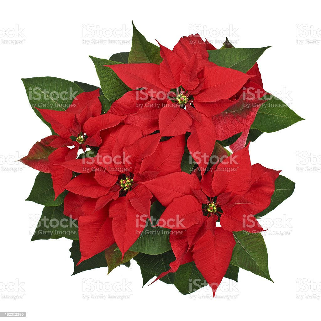 Poinsettia plant top view stock photo