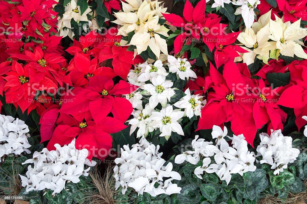 Poinsettia plants grouped stock photo
