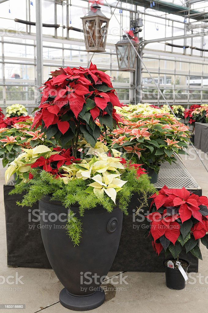 Poinsettia plants ina green house stock photo