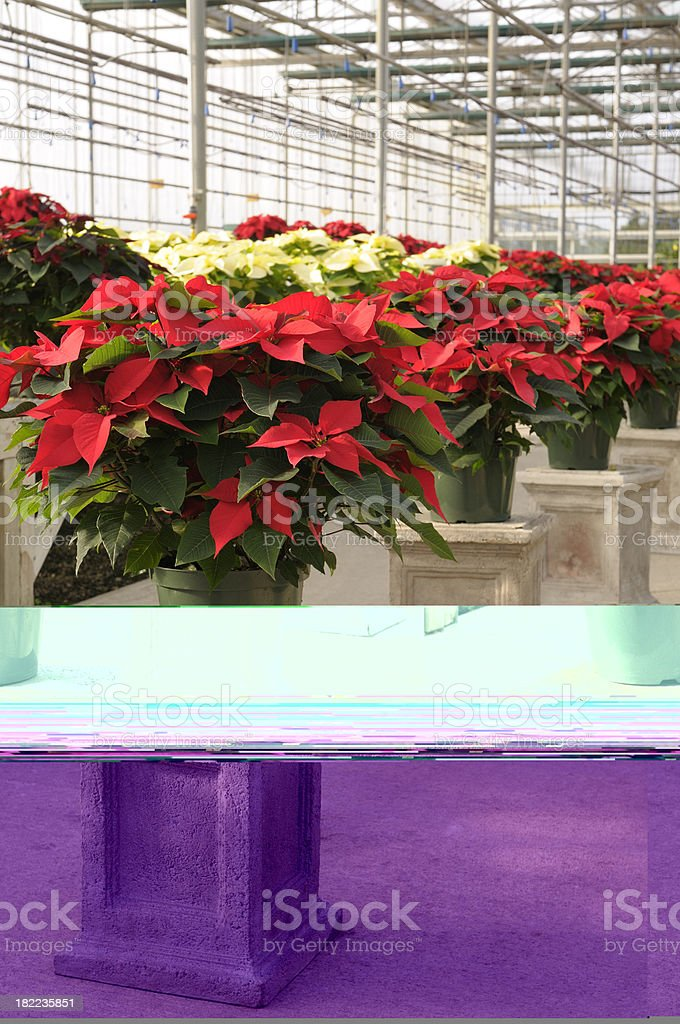 Poinsettia plants on display royalty-free stock photo