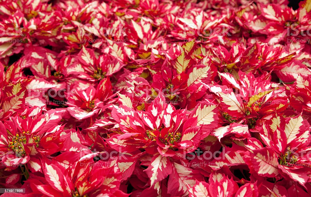 Poinsettia plants royalty-free stock photo