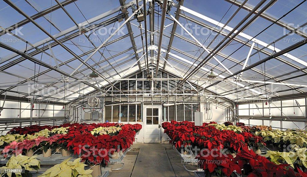 Poinsettia Research stock photo