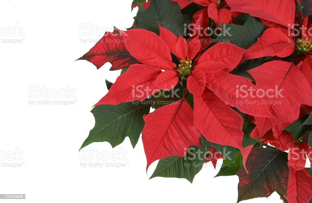Poinsettia Series royalty-free stock photo
