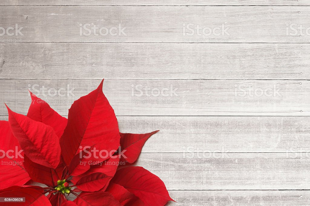 Poinsettia Sitting On Whitewashed Boards stock photo