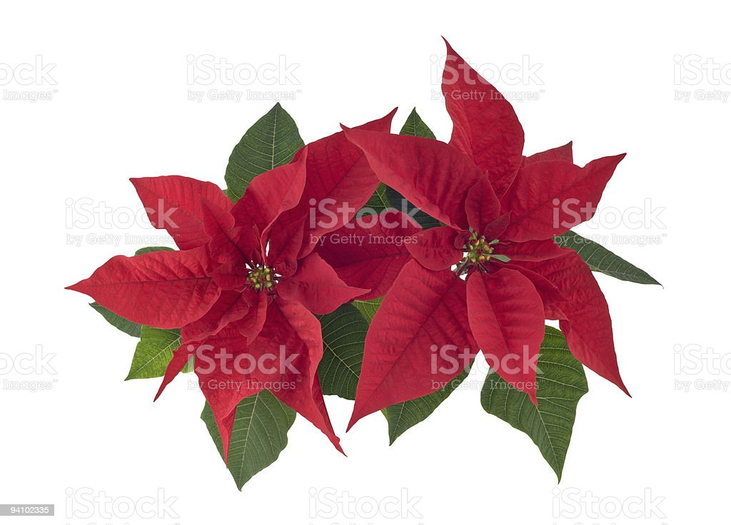 Poinsettia two flowers closeup cutout royalty-free stock photo