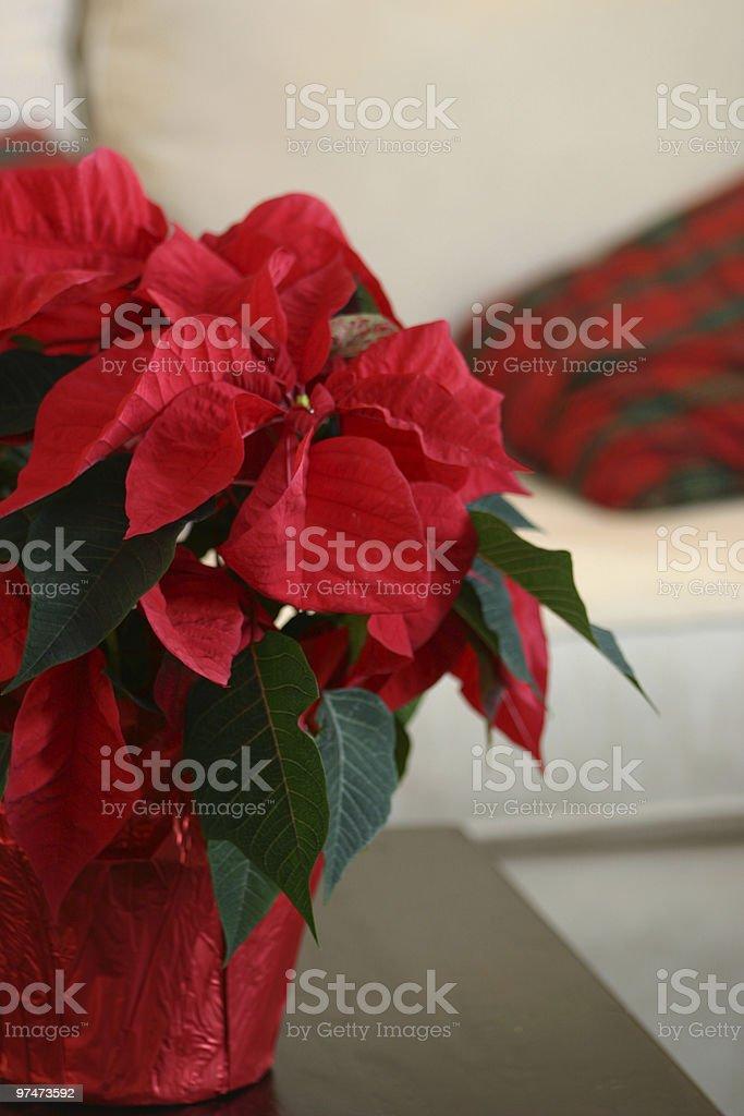 Poinsettia up close royalty-free stock photo