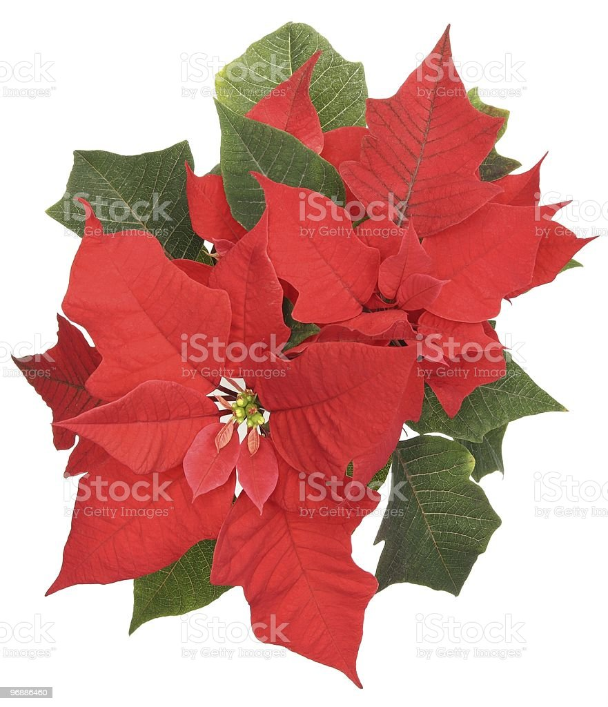 Poinsettia,Christmas decoration royalty-free stock photo