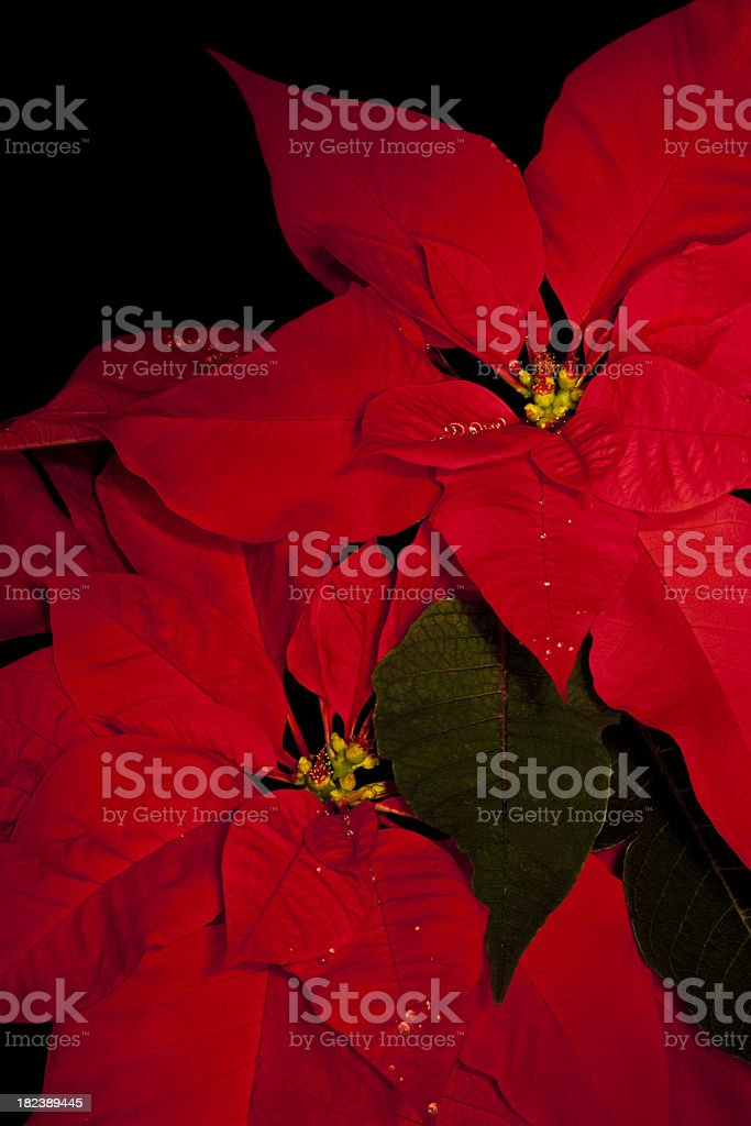 Poinsettias Isolated on Black royalty-free stock photo