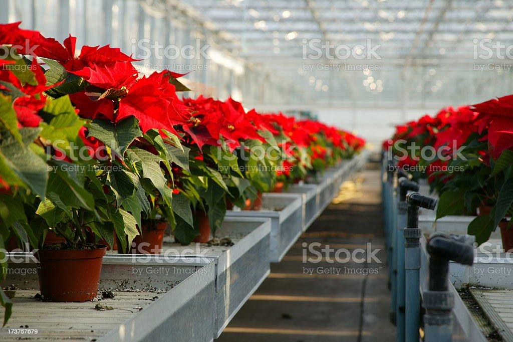 Poinsettias on the bench royalty-free stock photo
