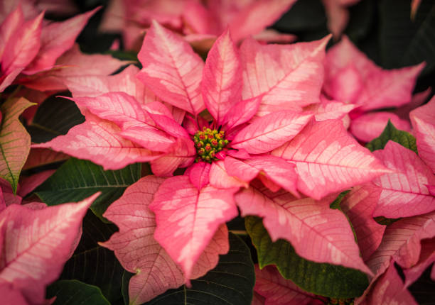 Royalty Free Marble Poinsettia Pictures Images And Stock