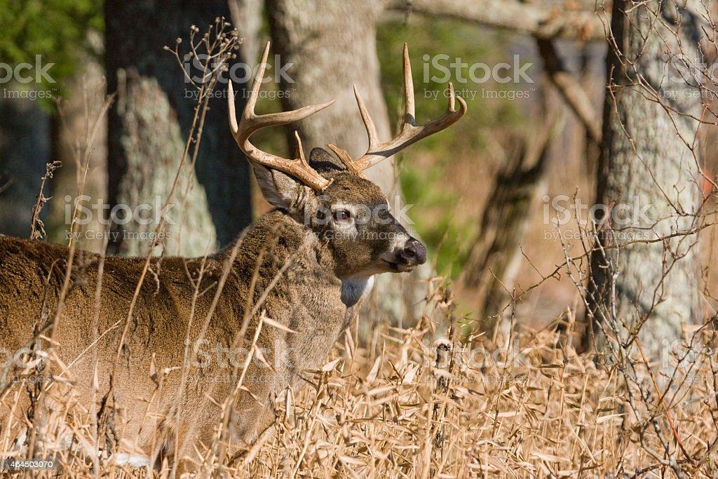 9 Point Buck stock photo
