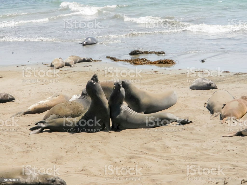 Point Piedras Blancas Elephant Seals at Play stock photo