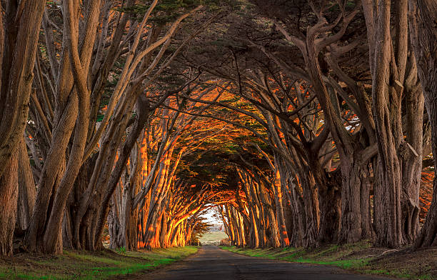point reyes cypress tunnel at sunset - cipres stockfoto's en -beelden