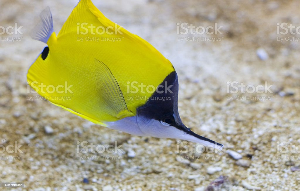 Pointed nose fish royalty-free stock photo