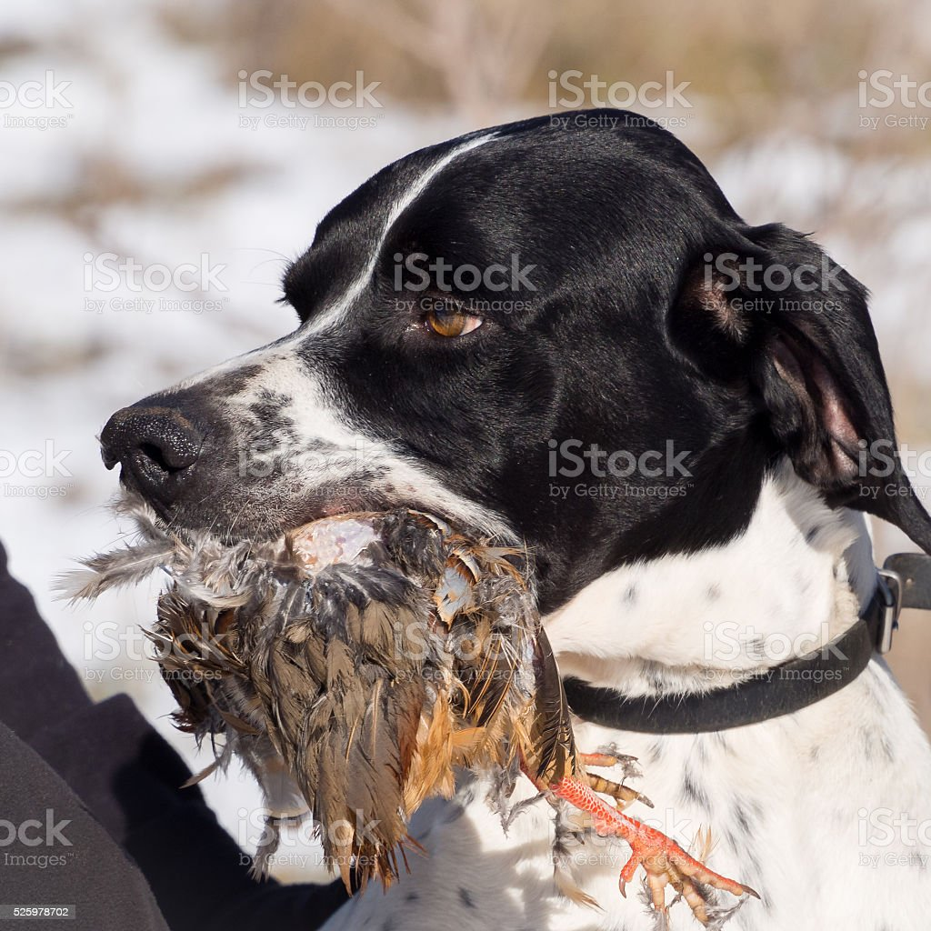 Pointer dog hunting partner with its prey stock photo