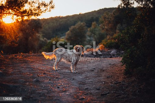 Pointer Dog Walking in the Forest at Sunset