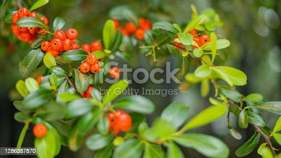 Picture of a bush of small round orange peach-like fruits called Arctostaphylos pungens