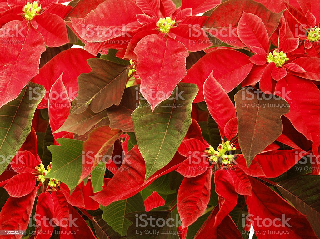 pointsettia royalty-free stock photo