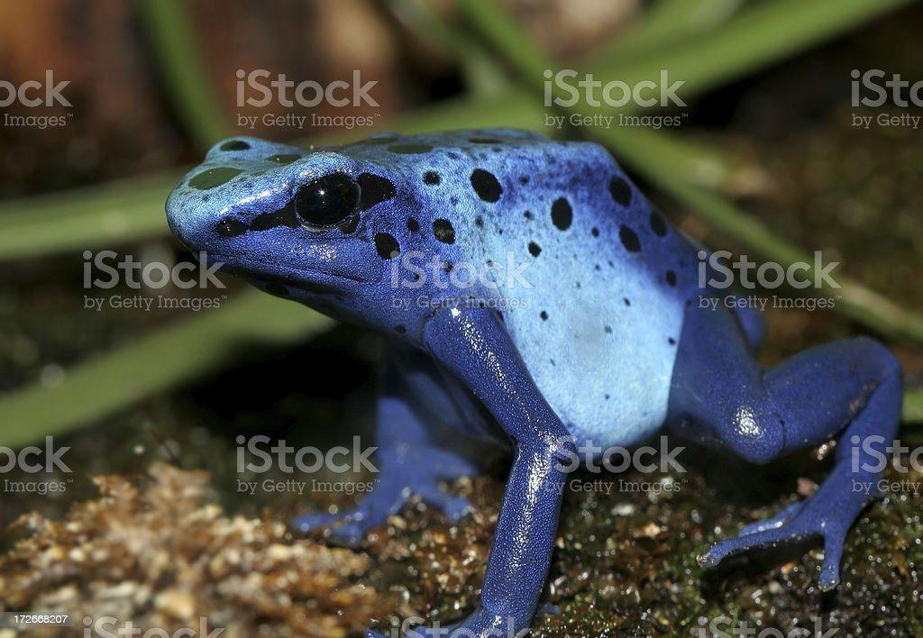 Grenouille Bleue Venimeuse grenouille venimeuse – photos et plus d'images de amphibien   istock