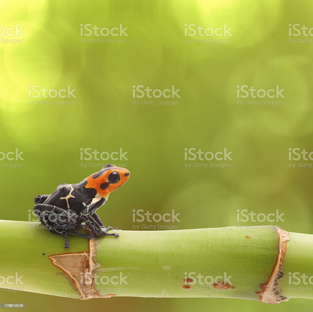 poison arrow frog royalty-free stock photo