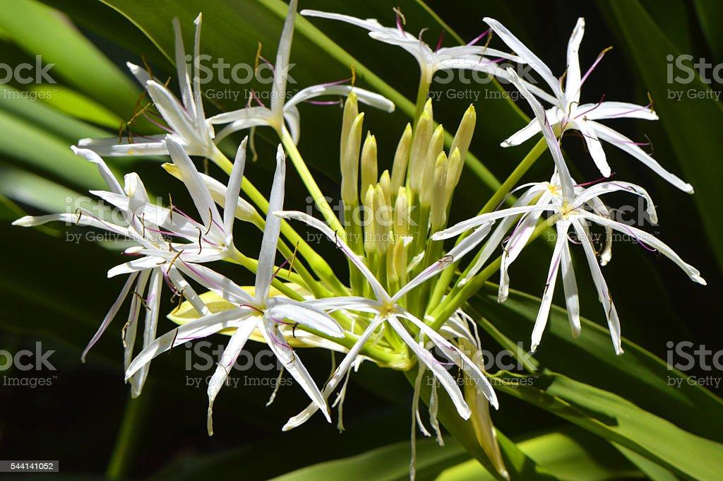 Poison bulb Latin name Crinum asiaticum flowers stock photo