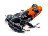 poison dart frog with red head, Ranitomeya benedicta