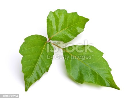 Close-up of Poison Ivy leaves isolated on white background.