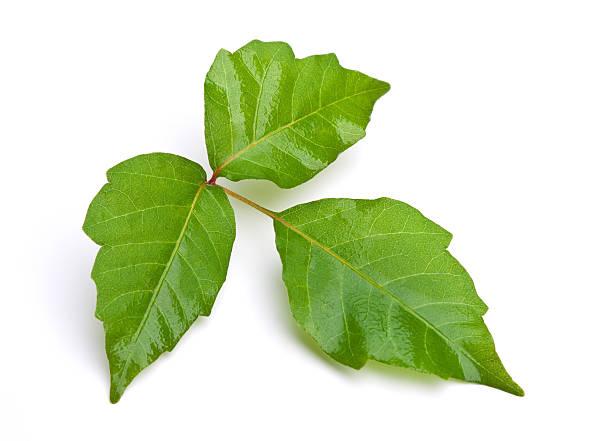 giftsumach isoliert - poison ivy pflanzen stock-fotos und bilder