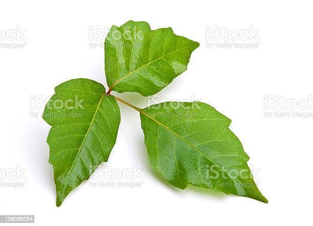 Photo of Poison Ivy Isolated