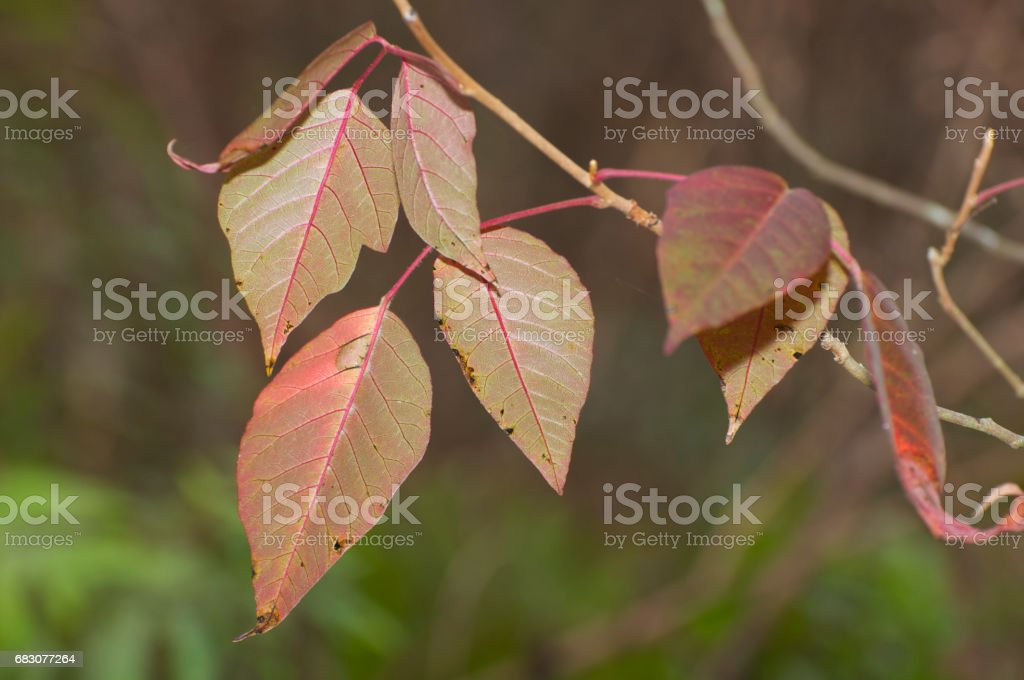 Poison Ivy 'leaves of three' foto de stock royalty-free
