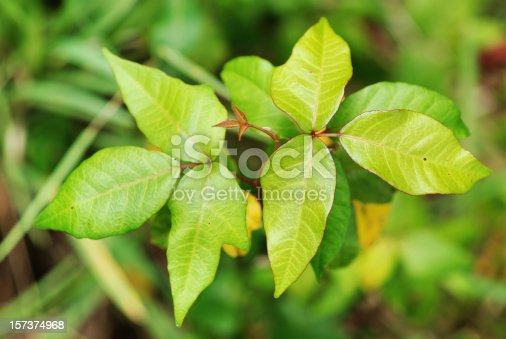 Poison ivy: Toxicodendron radicans (syn. Rhus toxicodendron, Rhus radicans). Distinctive triple leaf structure of poison ivy plant.