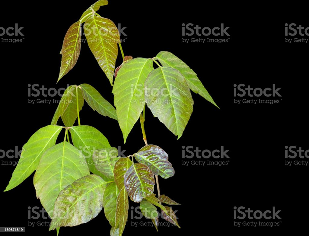 Poison ivy on black royalty-free stock photo