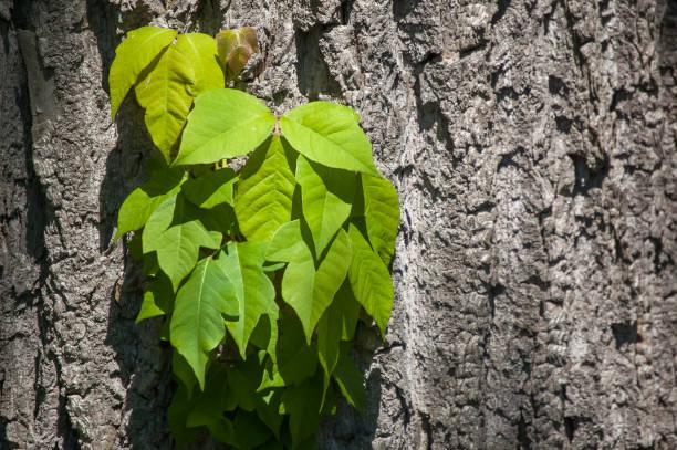 poison ivy auf baumstamm - poison ivy pflanzen stock-fotos und bilder